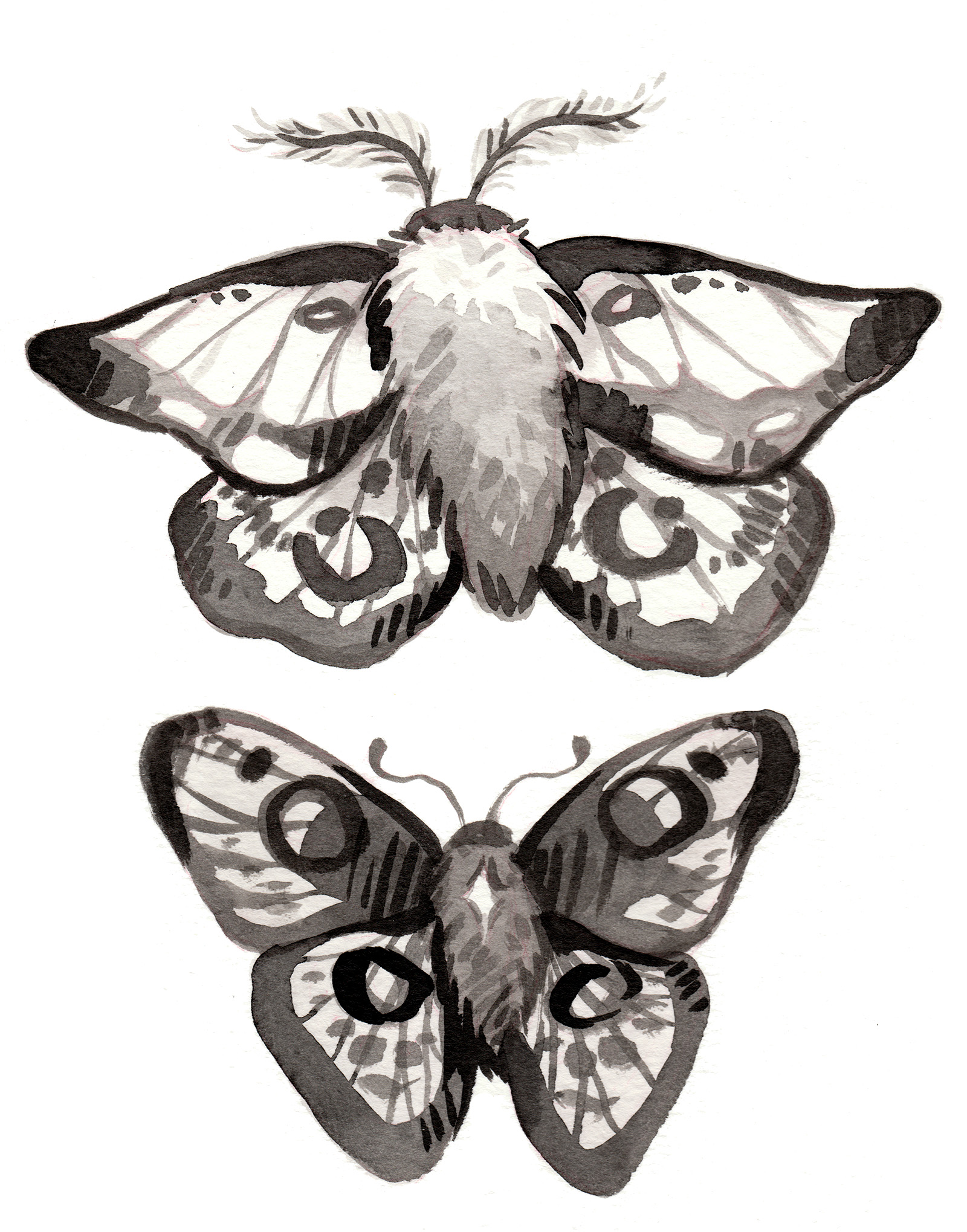 black and white ink moth illustrations
